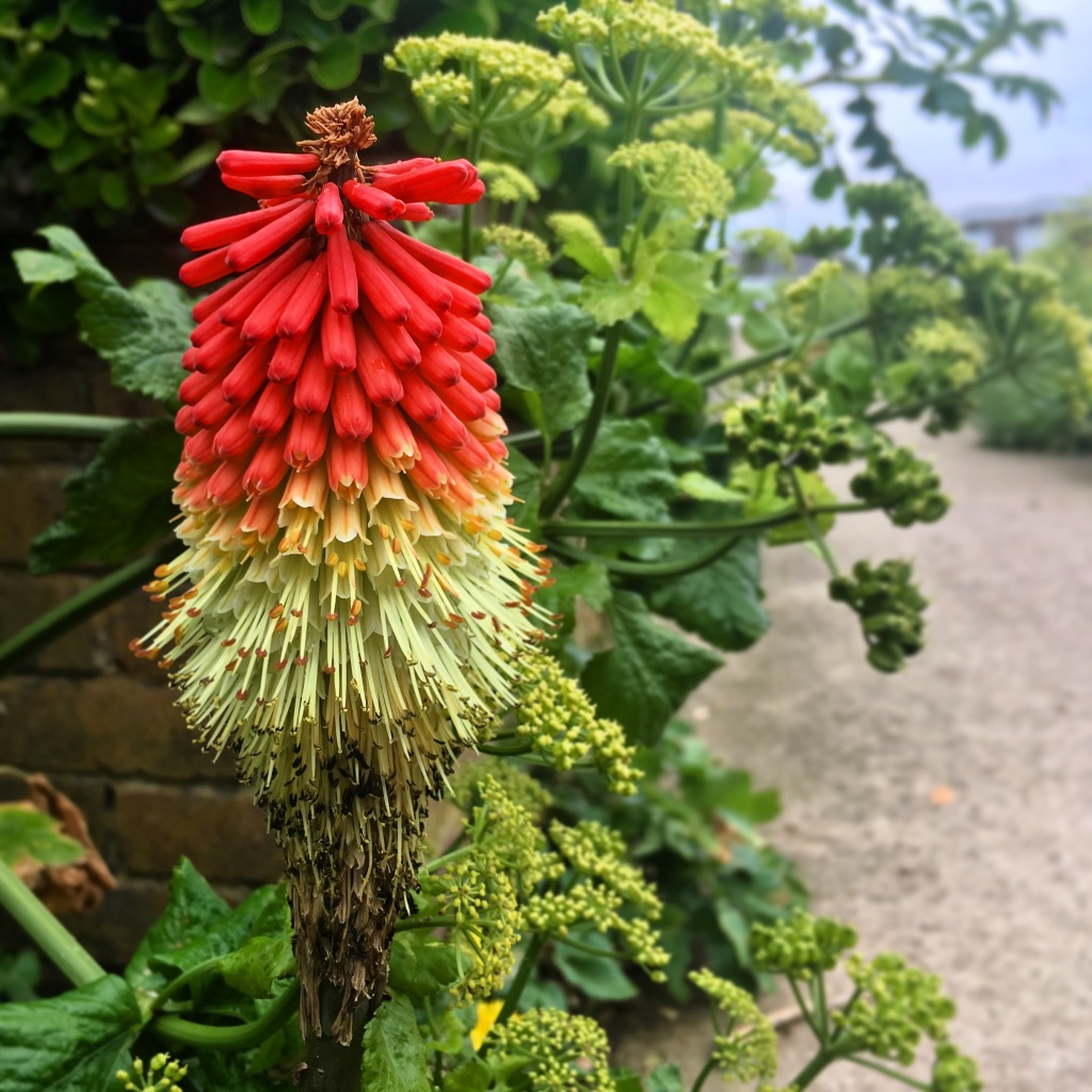 A red hot poker plant on Shoreham Beach