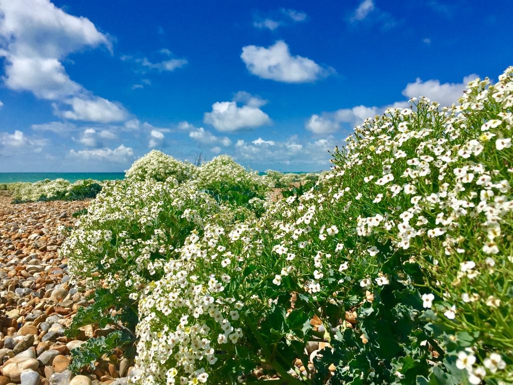 Flowers on Shoreham Beach